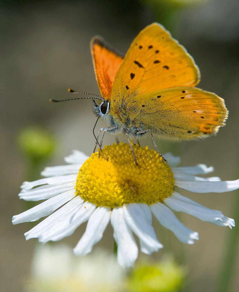 Kukka ja perhonen