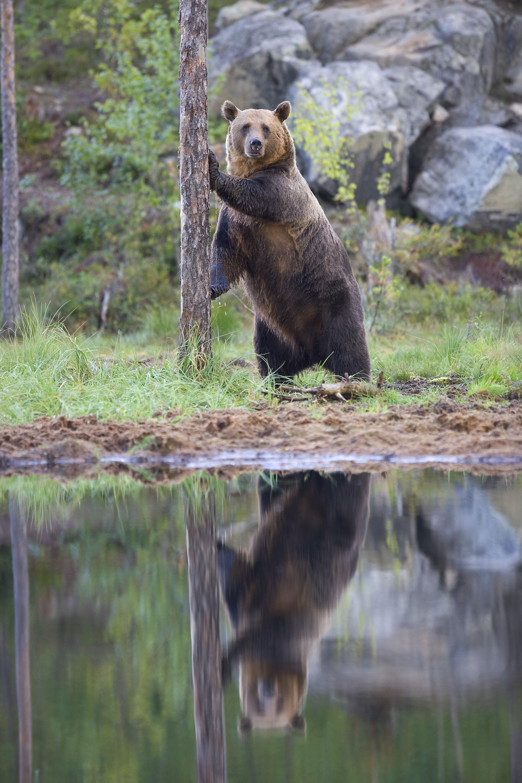 Kontio björn