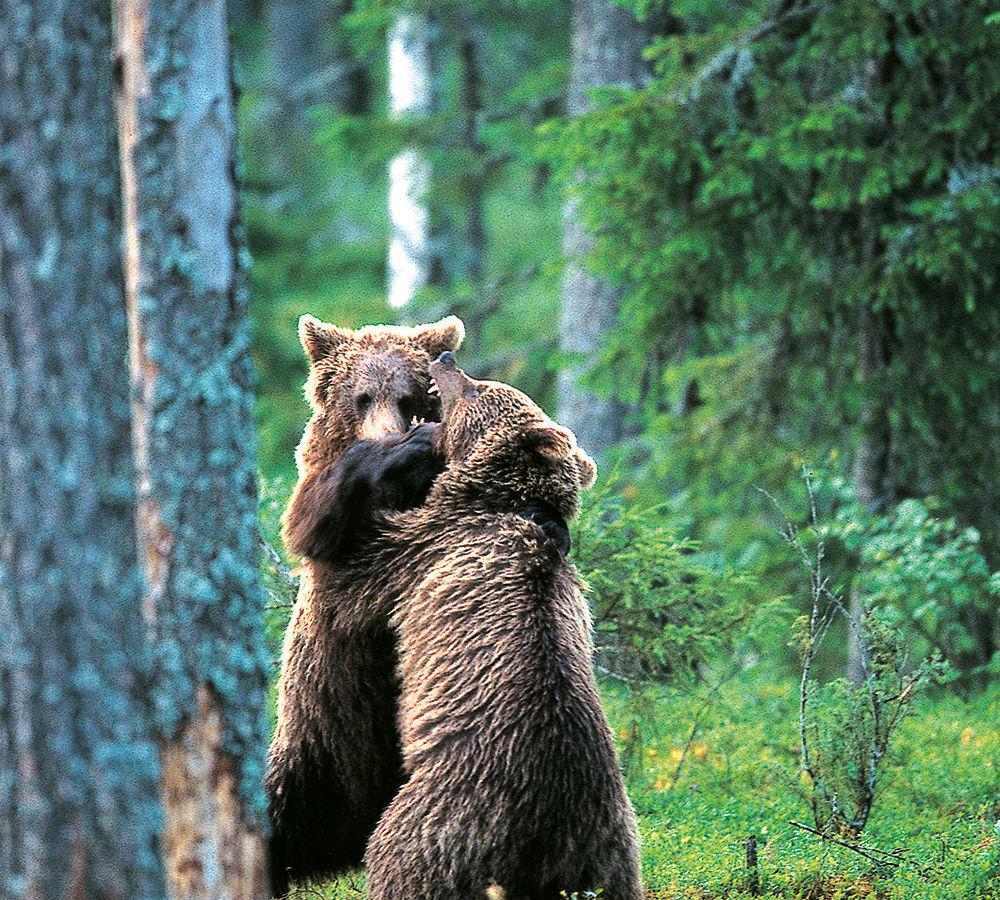 Mascotte kontio, l'ours de Finlande